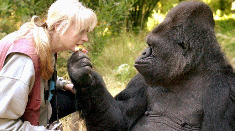 Горилла Коко - обезьяна, умеющая говорить